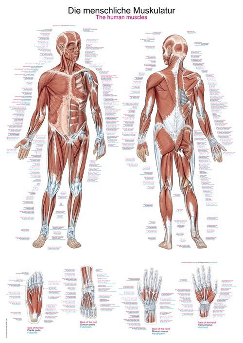 Die menschliche Muskulatur