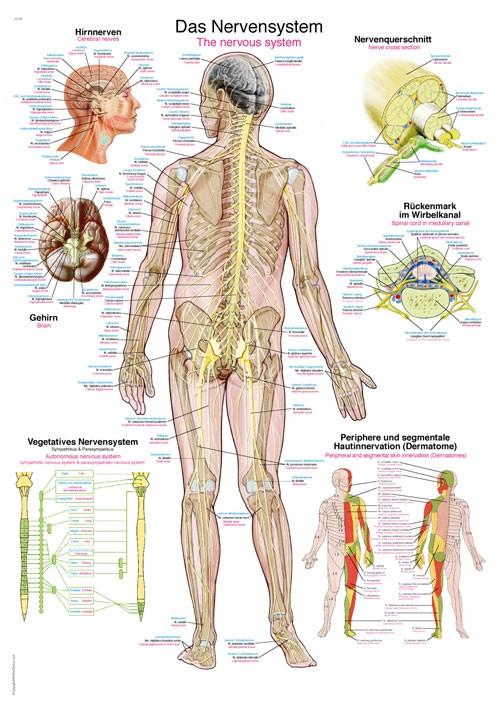 Das Nervensystem