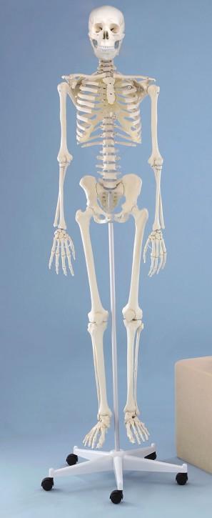 """Skelett """"Willi"""" starre Wirbelsäule"""