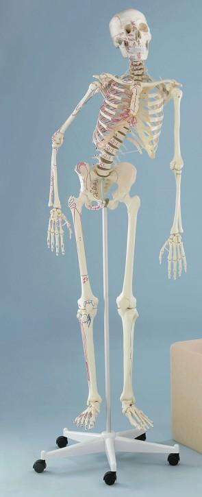 """Skelett """"Peter"""" flexible Wirbelsäule mit Muskelursprung und -ansatz"""