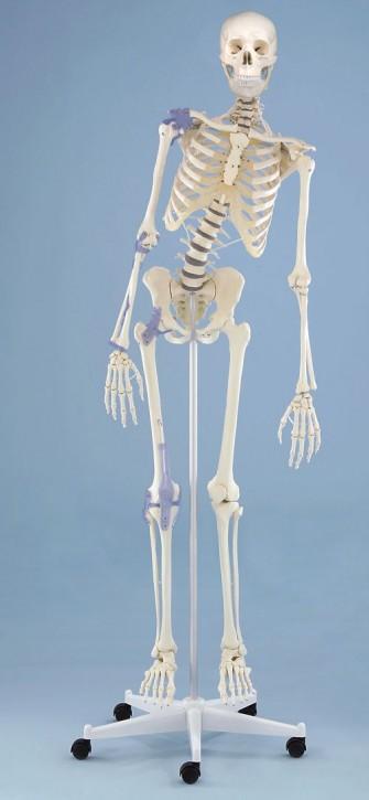 """Skelett """"Toni"""" flexible Wirbelsäule mit Ansicht des Bandapparates"""