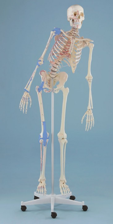 """Skelett """"Max"""" flexible Wirbelsäule mit Ansicht des Bandapparates und Markierung der Muskelursprünge und -ansätze"""