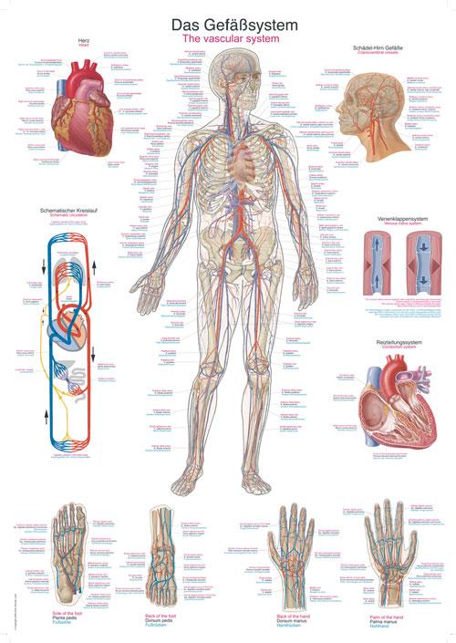 Das Gefäßsystem