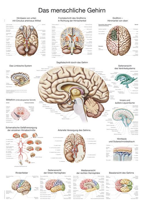 Das menschliche Gehirn