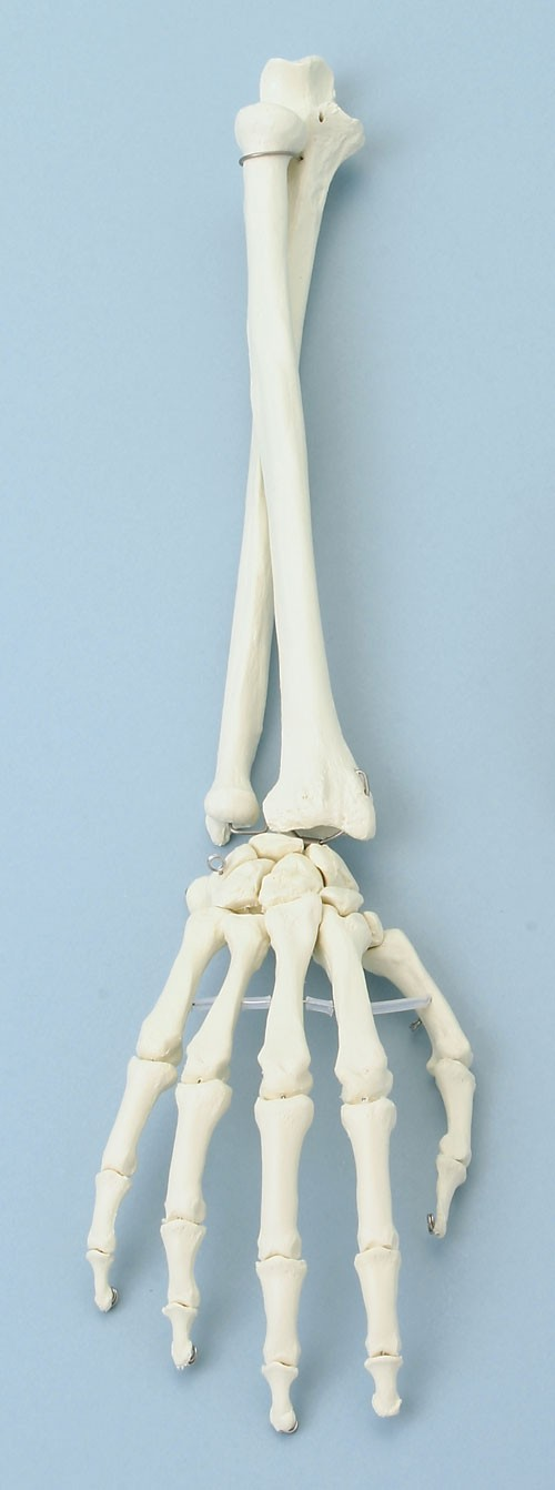 Hand mit Unterarm