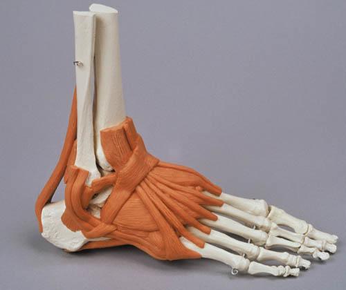 Skelette und Modelle