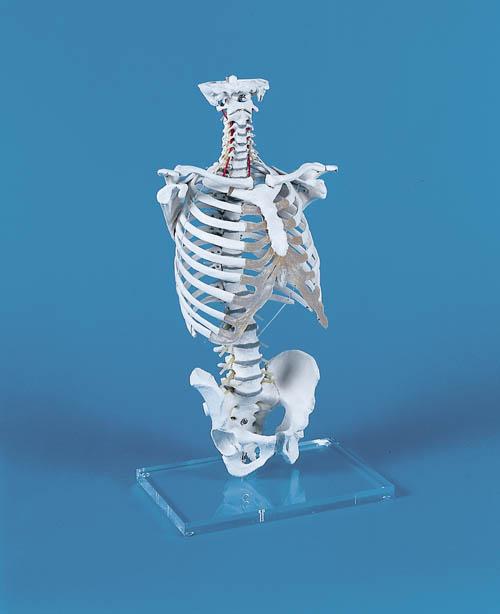 Wirbelsäule mit Brustkorb