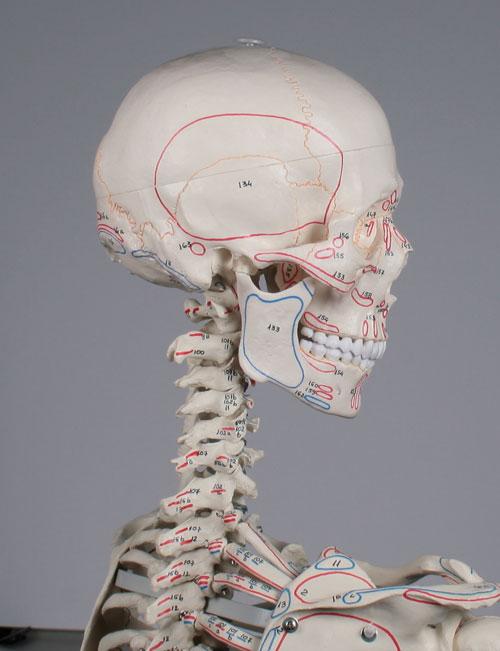 """Skelett """"Arnold"""" starre Wirbelsäule mit Muskelursprung und -ansatz"""
