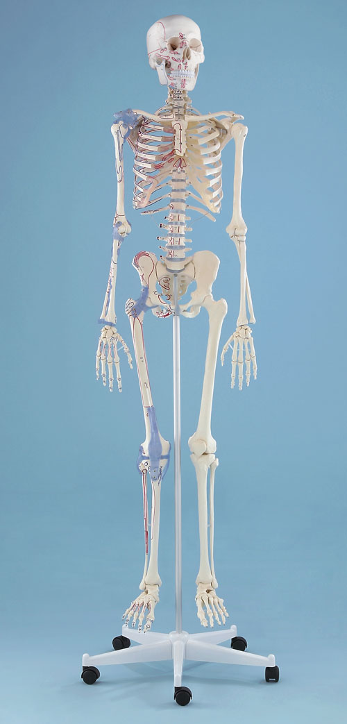 """Skelett """"Bert"""" starre Wirbelsäule mit Ansicht des Bandapparates und Markierung der Muskelursprünge und -ansätze"""