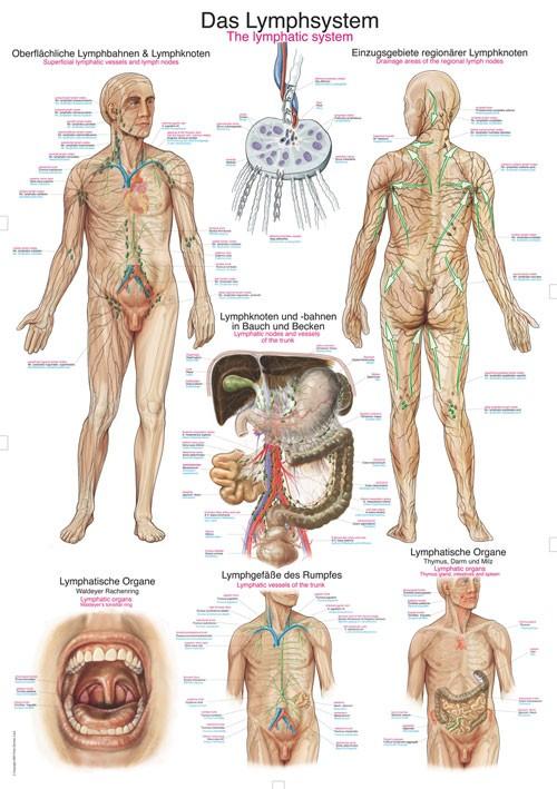 Das Lymphsystem